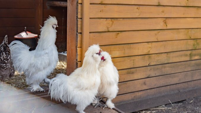 11 Perfect Chicken Breeds For Small Backyards Cover