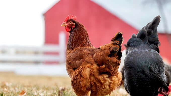 13+ Best Chickens That Lay Lots Of Eggs Cover