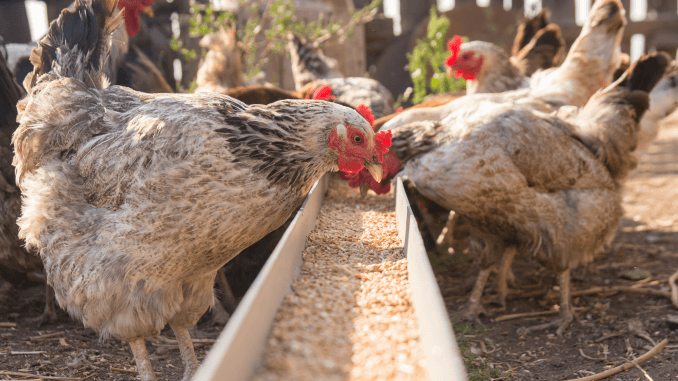 7 Beginner Mistakes When Feeding Chickens Cover