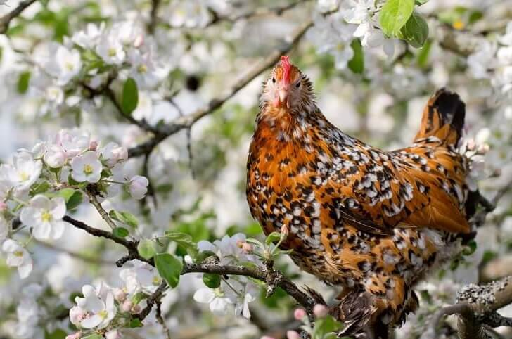 Barbu DUccles Bantam Chicken