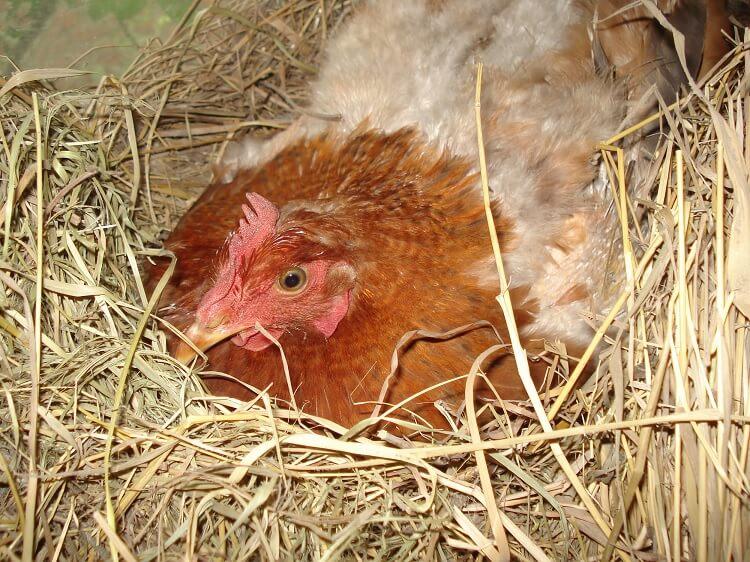 Broody Chicken