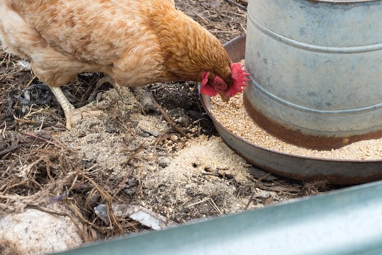 Chicken and Feeder