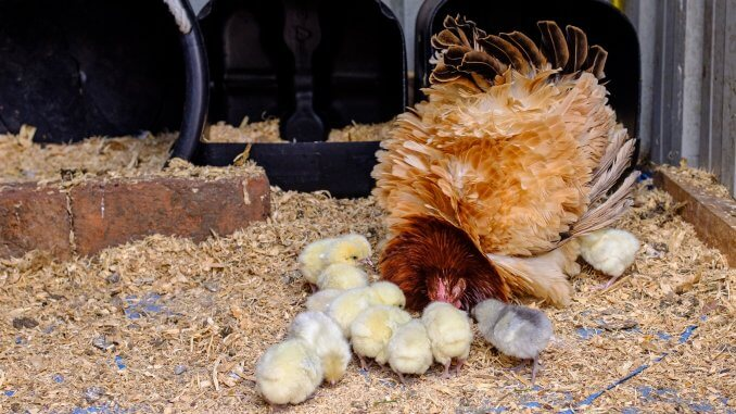 Complete Guide To A Broody Hen 6 Best Ways To Break Cover