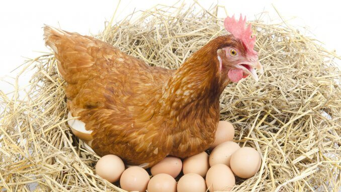 Complete Guide To Egg Bound Chickens (Symptoms, Treatment and More…) Cover