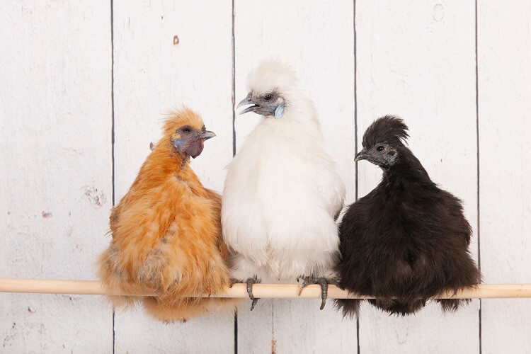 Three Silkie Chickens