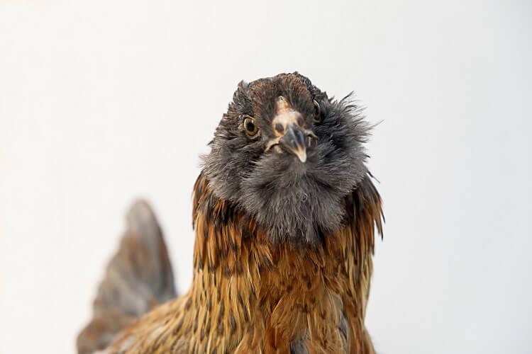Easter Egger Chicken Breed