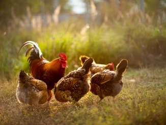 The Complete List Of Chicken Breeds Cover