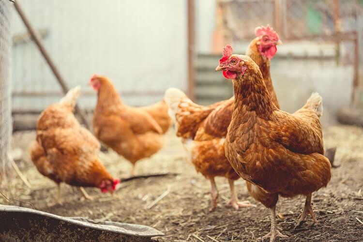Chickens Roaming