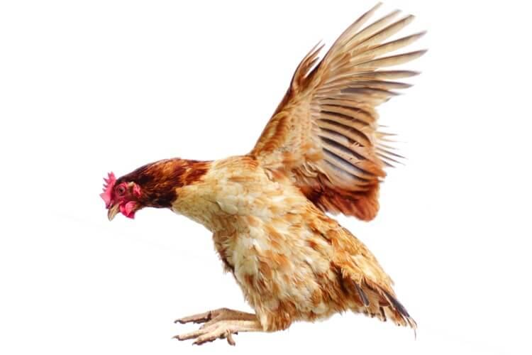 Hybrid Chicken Flying
