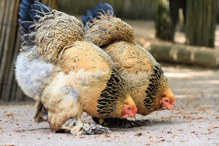 Light Brahma Chicken
