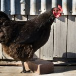 Australorp Chicken Roaming
