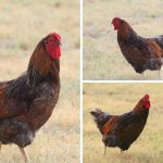 Blue Laced Red Wyandotte Hens