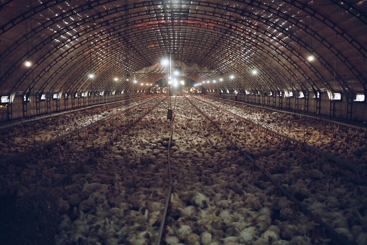 Chicken Industrialization