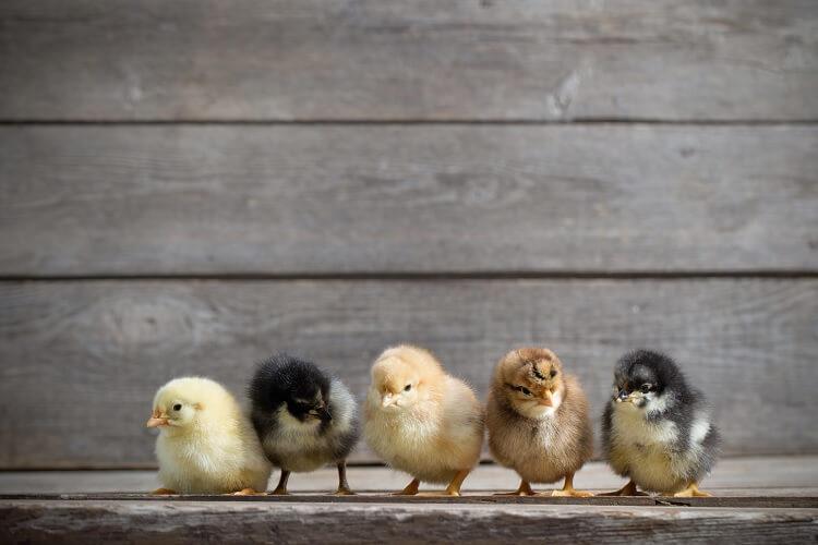 Planning Chicks