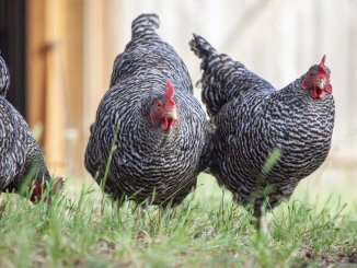 Plymouth Rock Chicken Care Guide Varieties, Facts And More… Cover