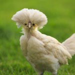 Polish Chicken Close Up
