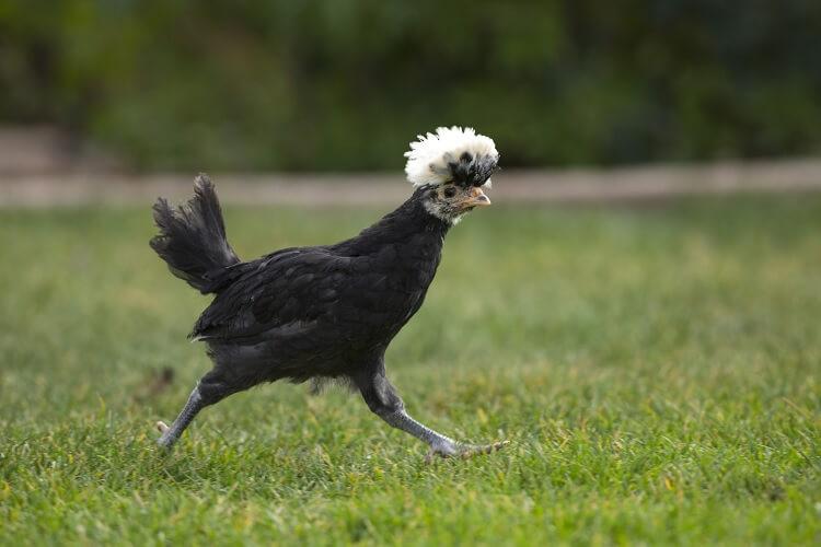 Polish Crested Chicken