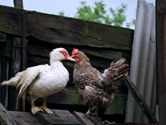 7 Tips For Raising Ducks With Chickens Cover