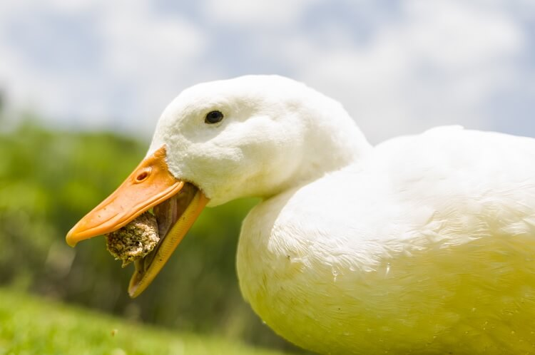 A White Duck Eating