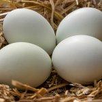 Araucana Blue Eggs
