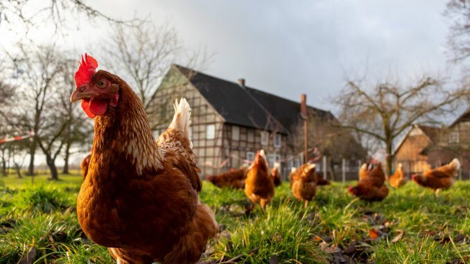 Chicken Bullying 9 Ways To Stop Chickens Pecking Cover