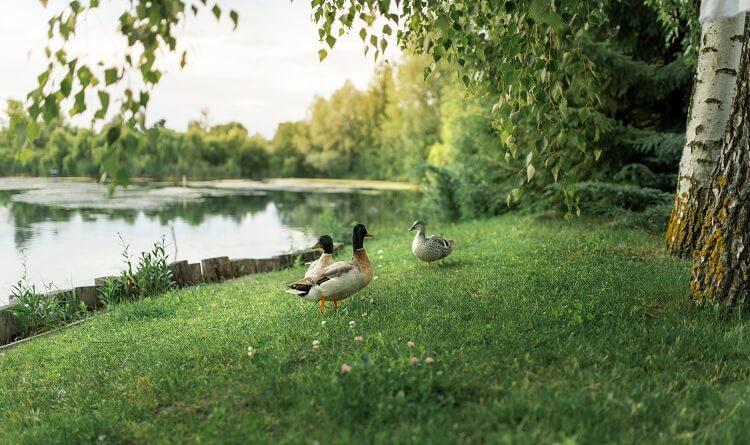 Ducks Roaming Near Pond