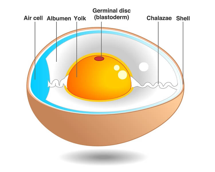 Egg Anatomy