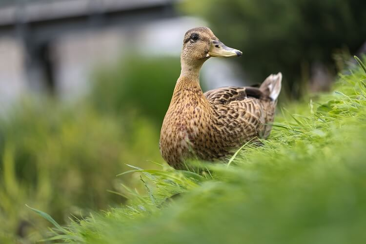 Female Duck