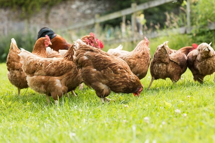 Hens Out Pecking