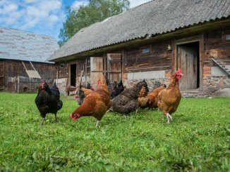 How Often Do Chickens Lay Eggs? Egg Production Explained Cover