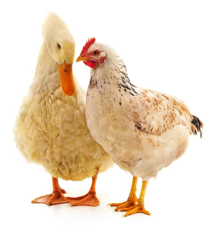 Raising Ducks With Chickens