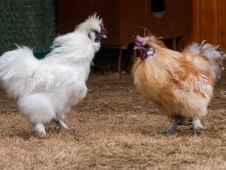 The 9 Rarest Chicken Breeds In The World Cover