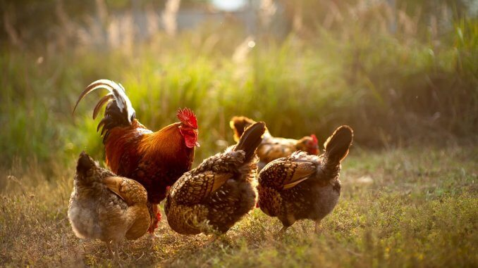 25 Amazing Facts About Chickens You Probably Didn't Know Cover