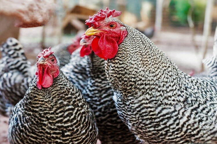 Dominique Chicken
