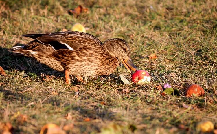 Duck Eating An Apple