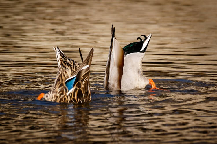 Ducks Eating In Wild