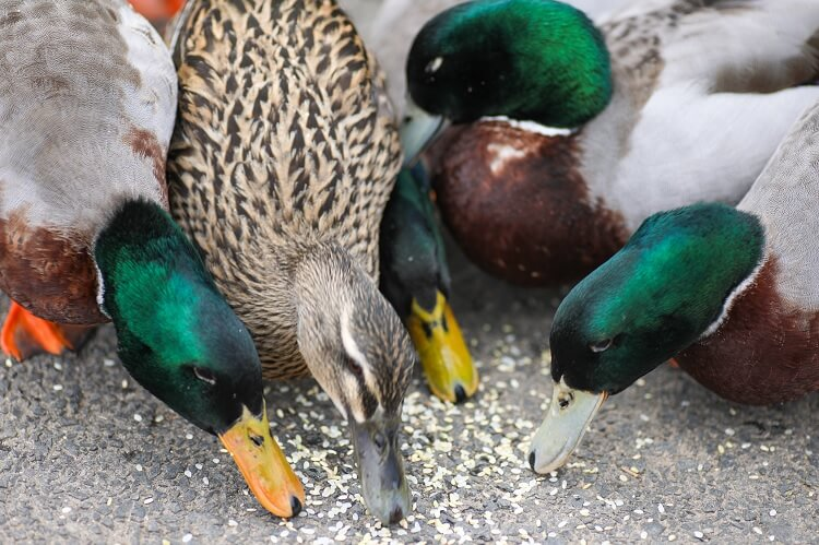 Ducks Eating Seeds