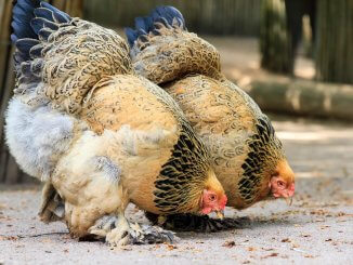 Top 7 Most Popular Giant Chicken Breeds Cover