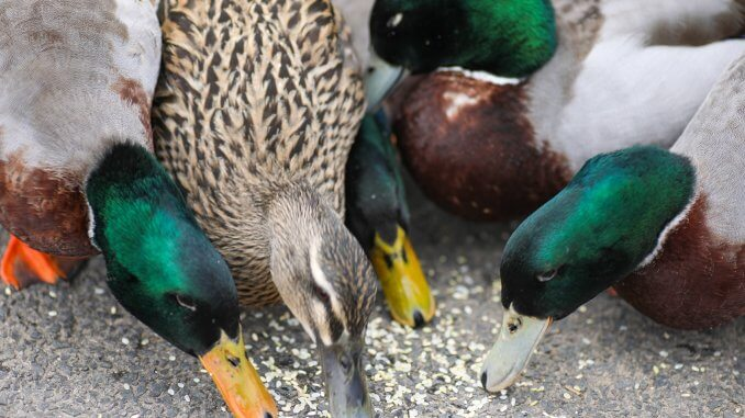 What Do Ducks Eat? In The Wild And As Pets Cover