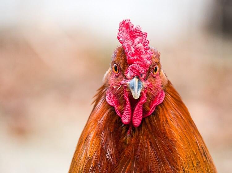 Chicken Comb