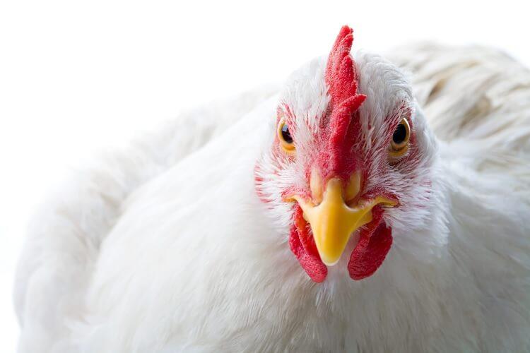 White Chicken Comb