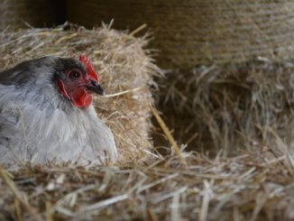 11 Common Reasons Why Chickens Stop Laying Eggs (And How To Fix It) Cover