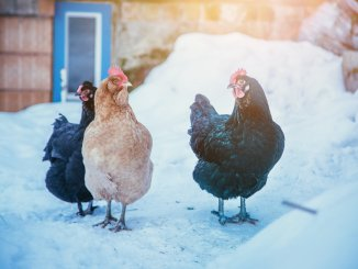 5 Best Chicken Coop Heaters The Complete Buyer's Guide Cover