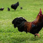 Black Copper Maran Rooster