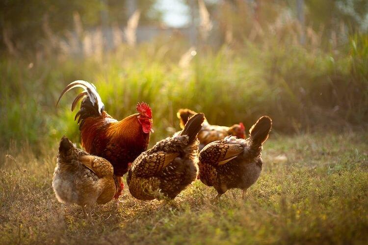 Chicken Flock Integration