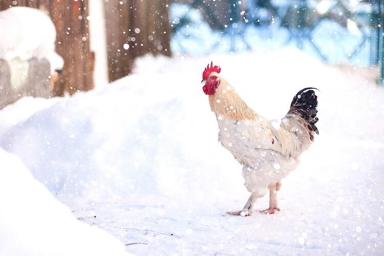 Chicken In Snow