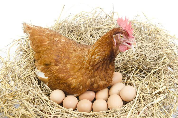 Chicken Sitting On Eggs