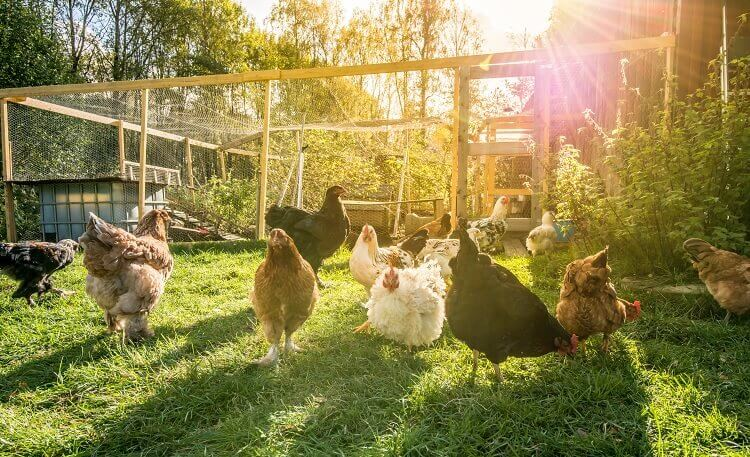 Chickens Laying Eggs In Run