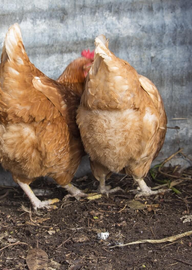 Comet Chickens