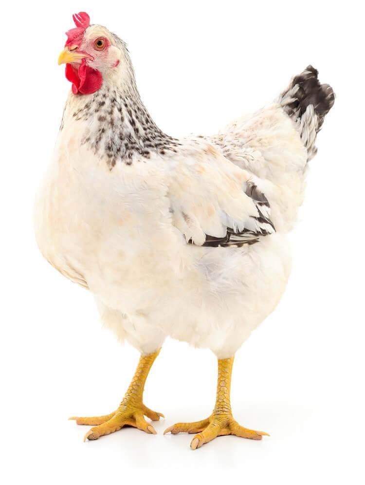 Delaware Rooster